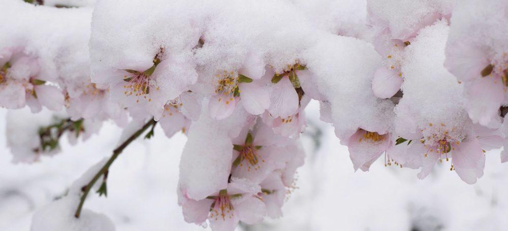 Frozen buds
